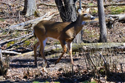 deer  buck  whitetail
