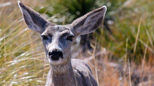 deer  mule deer  doe
