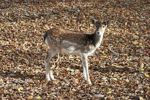 deer  forest  hungary
