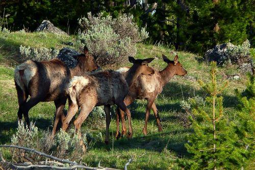 deer doe herd