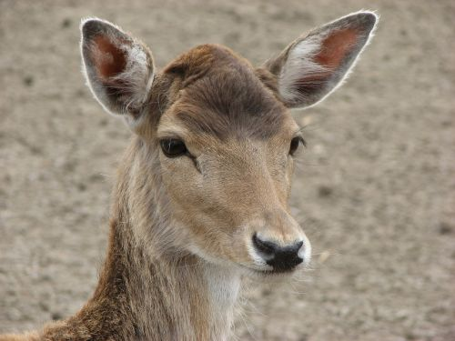 deer buck bambi