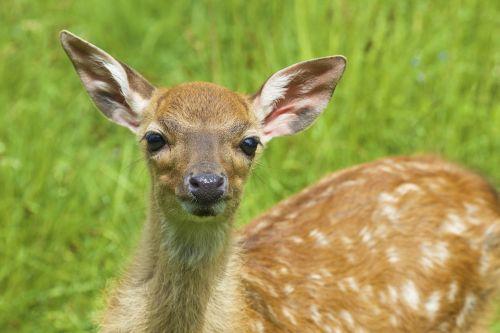 deer bambi young