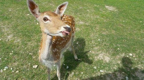 deer doe wildlife