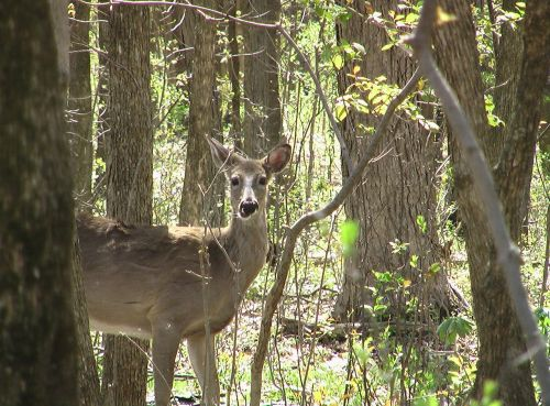 deer whitetailed forest