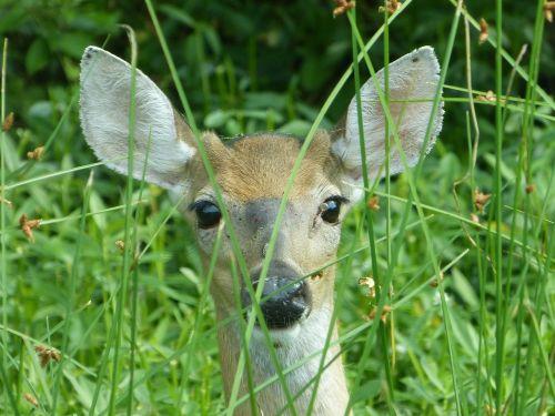 deer doe peeking