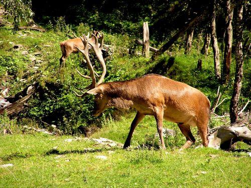deer horns antlers