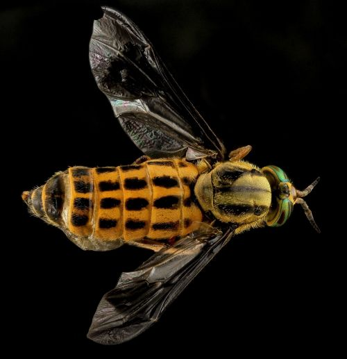 deer fly yellow fly horse fly