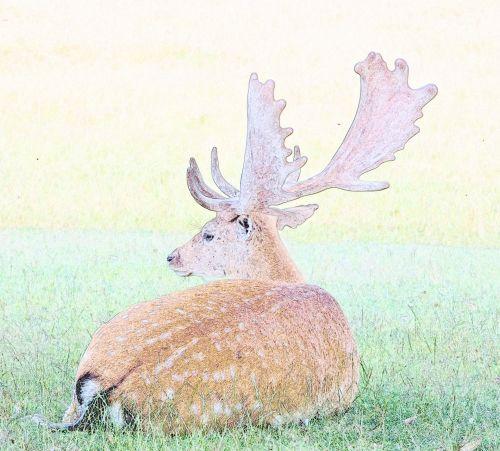 Deer Stag Illustration