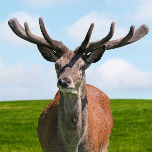 Deer Stag Portrait