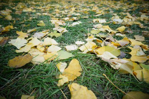 defoliation grassland ginkgo