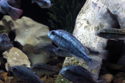 degeni cichlid sea life sea