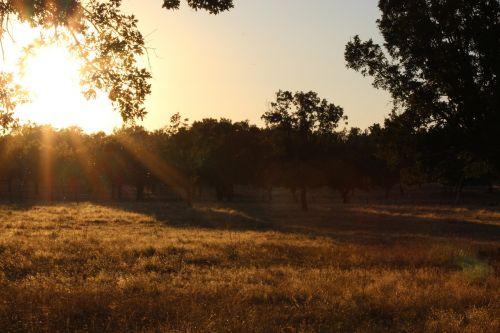 dehesa oak trees sunset