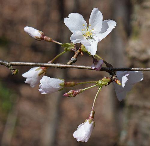 delicate cherry blossoms wild cherry cherry