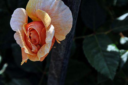 Delicate Orange Rosebud