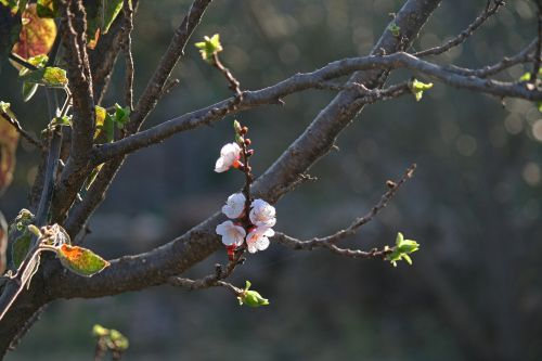 Delicate Pink Blossoms