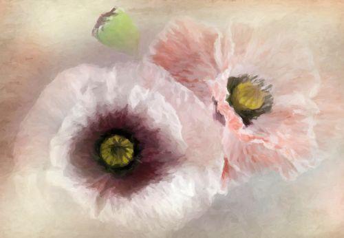 delicate poppies poppy flower