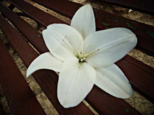 deliriumas,balta,gėlė,gėlės,pistil,mediena,medinis stendas,taika,makro,grožis,gražus,kramtyti,poilsis
