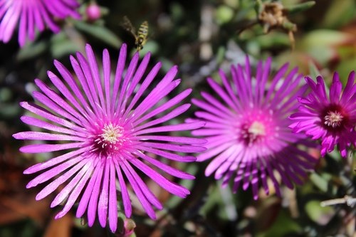 delosperma  flowers  nature