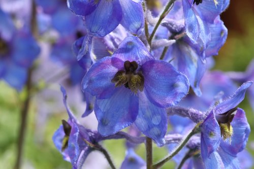 delphinium  flower  blue