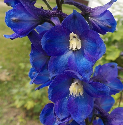 delphinium flowers blue