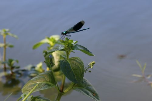 demoiselle dragonfly pond