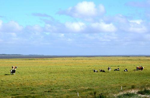 denmark nissum fjord cows