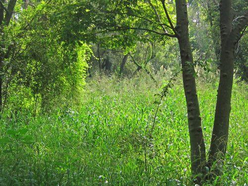 medis, augmenija, krūmai, žalias, bobutė, gamta, tankus žalia augmenija