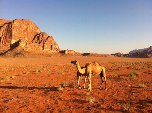 desert camel jordan
