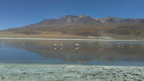 desert bolivia flamingos