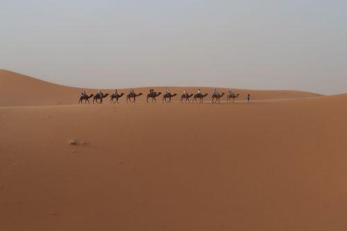 desert dromedary morocco