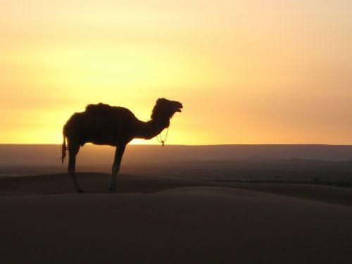 desert camel morocco