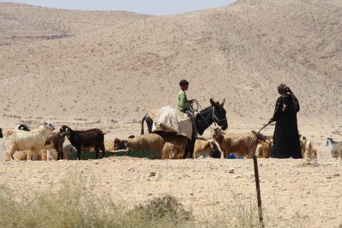desert bedouin goat