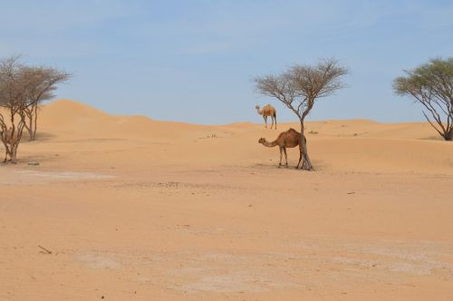desert camel arabic