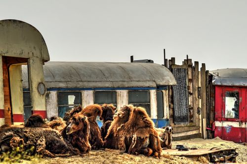 desert wagons camels