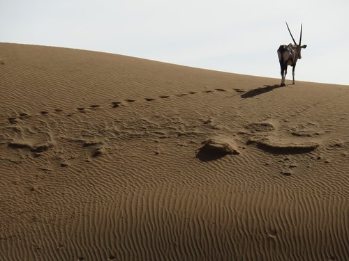 dykuma, Oryx, spjaudyti Bock, Namibija, antilopė, Afrikoje, smėlis, Namibo dykuma