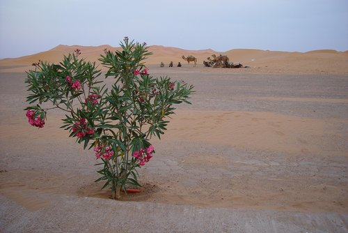 desert  camels  morocco