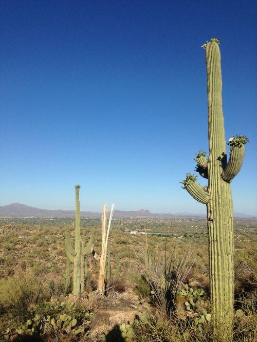 dykuma,kaktusas,Arizona