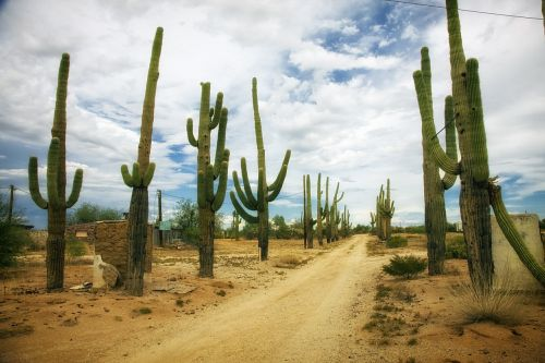 desert catus cacti