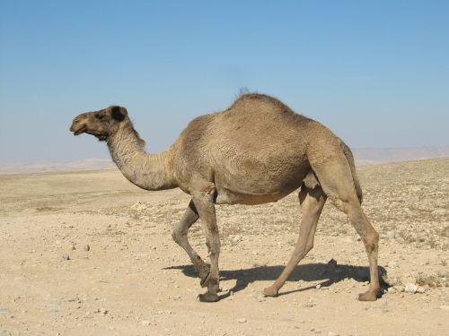 desert dromedary animals