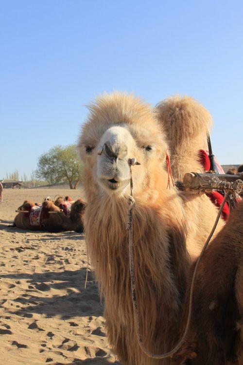 desert camel northwest