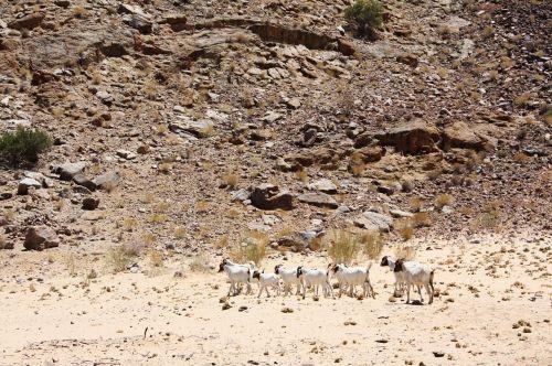 dykuma,gamta,ožkos,kraštovaizdis,smėlis,kelionė,šventė,pietų Afrika,sausas,gyvūnas,sausra,dykuma,kalnai