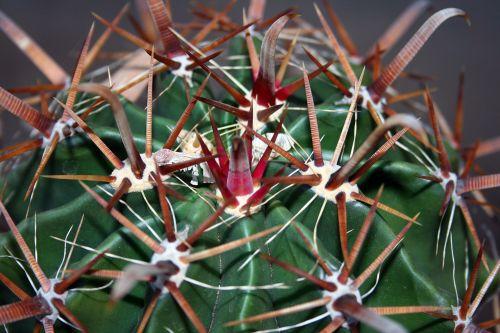 sultingas, kaktusas, žalias, šuoliai, erškėčių, raudona, ugnis & nbsp, cilindro, dykumos barzdos kaktusas