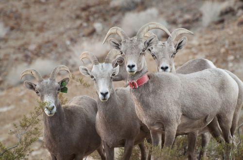 desert bighorn sheep ovis canadensis wildlife