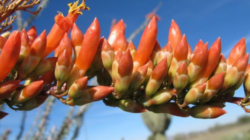 desert bloom ocotillo nature