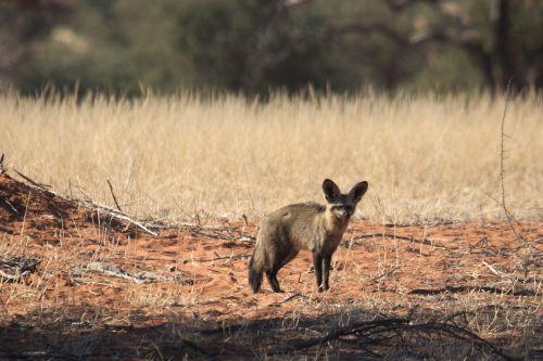 desert fox fuchs africa