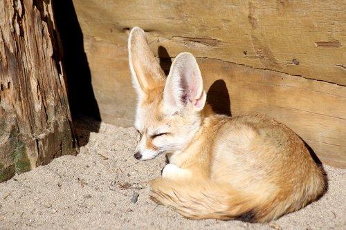 desert fox  fox  zoo