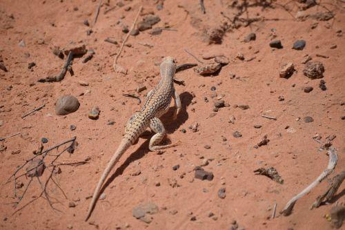 desert iguana desert iguana