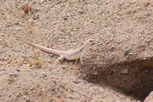 desert iguana  iguana  lizard