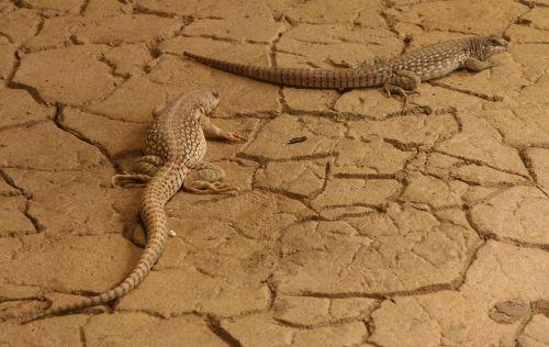 desert iguanas looking reptiles