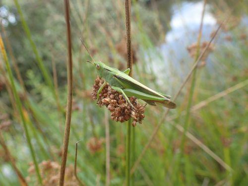 desert locust grass nature